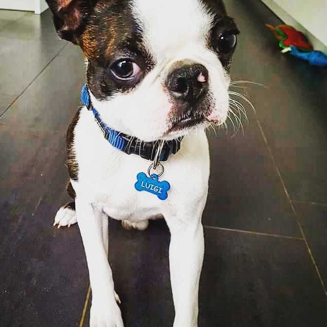 Luigi - Blue Bone Pet Tag